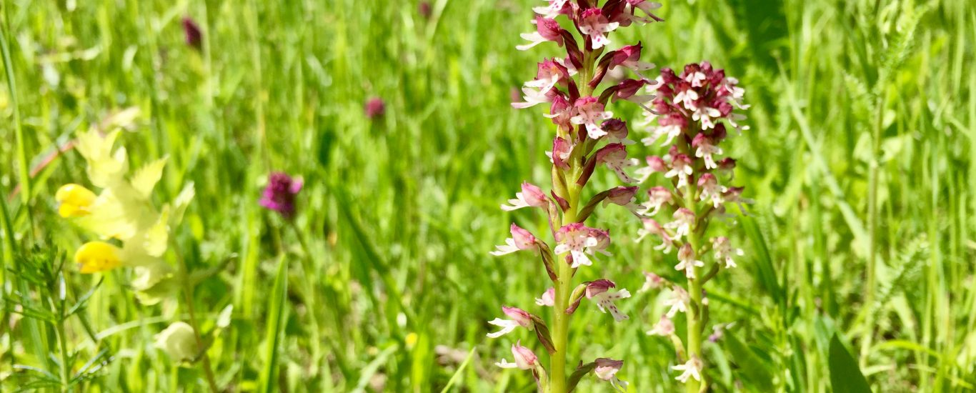 Orchidee im Grünen